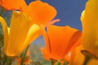 Poppies Spring Bloom 5. Lancaster, CA Fine Art Print