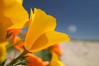 Poppies Spring Bloom 6. Lancaster, CA Fine Art Print