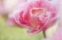 Pink Double Tulip Flower, Pennsylvania Fine Art Print