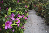 Rhododendron Along Pathway, Magnolia Plantation, Charleston, South Carolina Fine Art Print