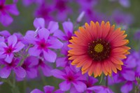 Phlox And Indian Blanket Near Devine Texas Fine Art Print