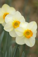Closeup Of White Daffodils, Arlington, Virginia Fine Art Print