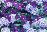 Hydrangea And Clematis, Issaquah, Washington Fine Art Print