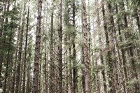 Mossy Pines Fine Art Print