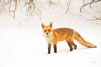 Red Fox IV Fine Art Print