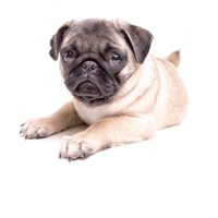 Cute Pug Puppy Fine Art Print