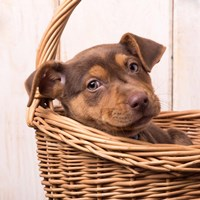 Puppy in a Basket Fine Art Print