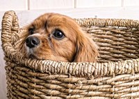 Puppy in a Laundry Basket Fine Art Print