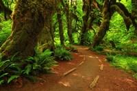 Hoh Rainforest, WA Fine Art Print
