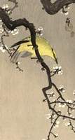 Chinese Wielewaal on Plum Blossom Branch, 1900-1910 Fine Art Print