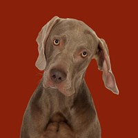 Billy the Weimaraner Fine Art Print