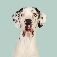 Daeaa the Great Dane Fine Art Print
