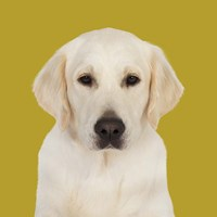 Gabby the Golden Retriever Fine Art Print
