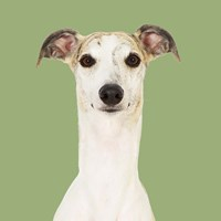 Dogs Hugo the Whippet Fine Art Print