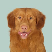 Hannibal the Toller Fine Art Print