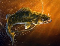 Out Of The Net Walleye Fine Art Print