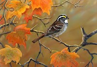 Whitethroated Sparrow Fine Art Print