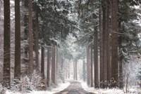 Pines in Winter Dress Fine Art Print