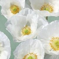 Poppies on Mint II Fine Art Print