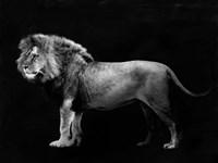 Panthera Leo Fine Art Print