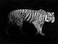 Panthera Tigris Fine Art Print