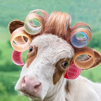 Cow in Curlers Fine Art Print