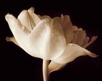 Champagne Tulip IV Fine Art Print