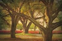 Three Oaks and Azaleas Fine Art Print