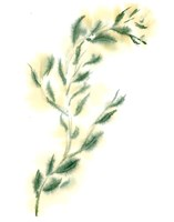 Vine III Fine Art Print