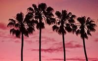 Pink Palms Fine Art Print
