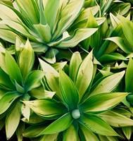 Succulent V Fine Art Print