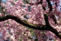 Cherry Blossom Tree In Bloom In Springtime, Tokyo, Japan Fine Art Print