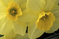 Cache Valley Daffodils, Utah Fine Art Print