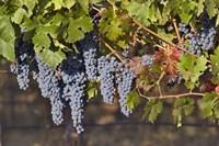 Close Up Of Cabernet Sauvignon Grapes In The Haras De Pirque Vineyard, Chile, South America Fine Art Print