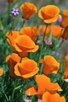 California Poppies, Antelope Valley, California Fine Art Print
