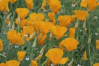 California Poppy, Santa Barbara Botanical Garden, California Fine Art Print