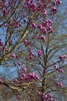 Magnolia Blossoms, Oregon Garden, Silverton, Oregon Fine Art Print