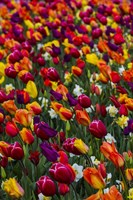Wind Blows A Field Of Multi-Colored Tulips, Mount Vernon, Washington State Fine Art Print