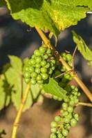 Pinot Gris Wine Grapes Ripen At A Whidbey Island Vineyard, Washington Fine Art Print