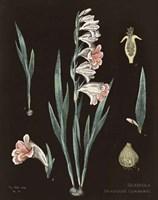 Gladiola Chart Cool Fine Art Print