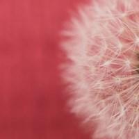 Dandelion on Red II Fine Art Print