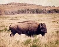Buffalo I Fine Art Print