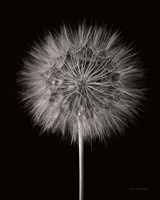 Dandelion Fluff on Black Fine Art Print