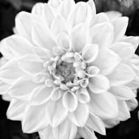 Black & White Gerbera I Fine Art Print