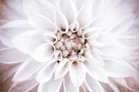 Bright White Bloom II Fine Art Print