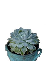 The Little Succulent on White Fine Art Print