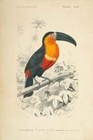 Toucan du Para Fine Art Print