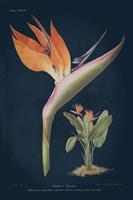 Stelitzia Reginoe Dark Blue Fine Art Print