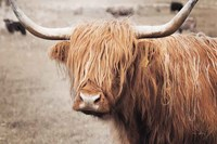 Scottish Highland Cattle I Neutral Fine Art Print