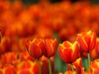 Tulips Forever Fine Art Print